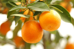 Orange on tree. Branch orange tree fruits green leaves Stock Images