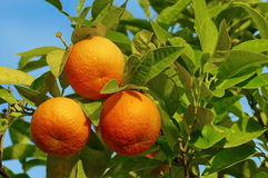 Orange tree and orange fruits in sunlight and blue sky in background Royalty Free Stock Photography