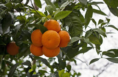 Orange tree. Branches of an orange tree laden with fruit Stock Images