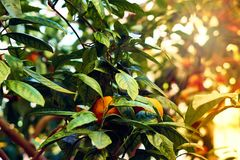 Orange tree branches with some ripe oranges. Sun light beams. Toned.  stock photo