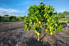 Orange tree in California. Orange tree in a grove in Southern California royalty free stock images