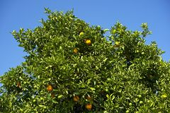 Orange Tree in California Stock Images