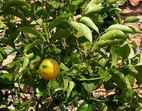 Orange Tree Or Citrus × Sinensis  In Heraklion Crete Greece. Orange tree of Citrus x sinensis with unripe  fruit in Heraklion Crete Greece Royalty Free Stock Photo