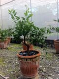 Orange tree. Citrus tree planted inside a screenhouse. Orange tree satsuma planted on a pot stock photos