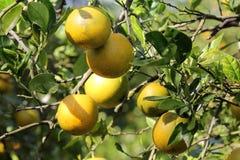Orange tree. Citrus season in Florida Stock Photos