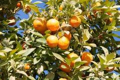 Orange tree - Citrus sinensis Stock Photo