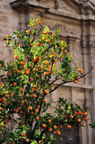 Orange tree in the city with a church behind Stock Photography
