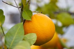 Orange on tree royalty free stock image