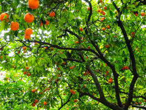 Orange Tree. In close up detail Royalty Free Stock Photo