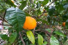 Orange on tree Royalty Free Stock Photography