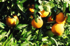 Orange tree. Close up shot from orange tree and fresh oranges Stock Photography