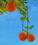 Orange Tree Close-up Stock Photography