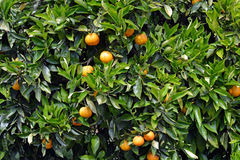 Orange Tree Closeup Background Royalty Free Stock Images