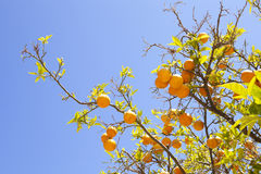 Orange tree. Closeup of branches laden with fruit Royalty Free Stock Photos