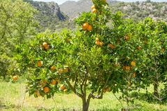 Orange tree with clusters of juicy oranges in spring. Royalty Free Stock Photography
