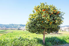 Orange tree in the countryside Portugal Stock Photos