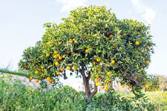 Orange tree in the countryside Portugal Royalty Free Stock Photo