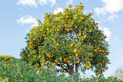 Orange tree in the countryside from Portugal Royalty Free Stock Images