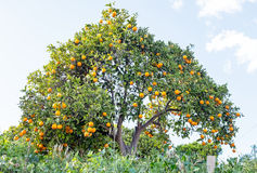 Orange tree in the countryside from Portugal Royalty Free Stock Photos