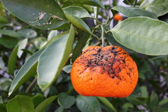 Orange Tree Damage Stock Images