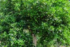 Orange tree. An orange tree on day light royalty free stock photos
