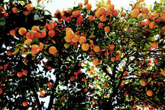 Orange tree in day light. A bounch of oranges in a tree Stock Photography