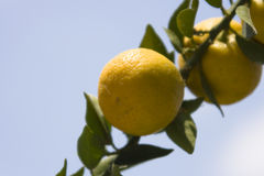 Orange Tree - Detail. A Branch of an orange tree with fruits in Italy Stock Photography