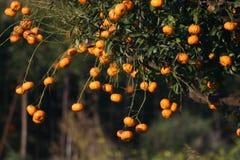 Orange tree detail. Detail of oranges on a tree. Fodele. Crete. Greece Stock Photo