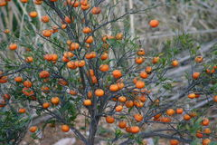 Orange tree detail. Detail of oranges on a tree. Fodele. Crete. Greece Royalty Free Stock Image