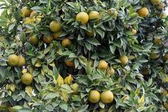 Orange tree detail Stock Photos