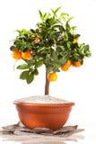 Orange tree. Essential oils of orange tree Royalty Free Stock Images