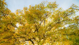 Orange tree in fall, big tree with many branches royalty free stock photography