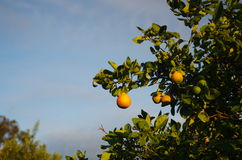 Orange tree farm. Hunter valley gardens, growing oranges Royalty Free Stock Images