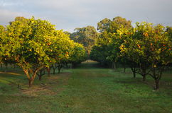 Orange tree farm. Hunter valley gardens, growing oranges Royalty Free Stock Photos