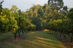Orange tree farm. Orange and lemon trees in the garden Royalty Free Stock Image