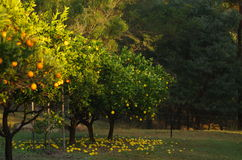 Orange tree farm. Orange and lemon trees in the garden Stock Photos