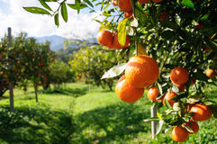 Orange tree. In the field Stock Photos