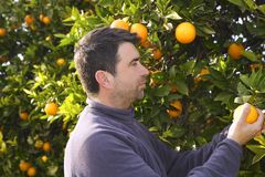 Orange tree field farmer harvest picking fruits Stock Photo