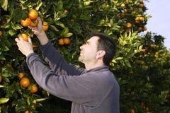 Orange tree field farmer harvest picking fruits. Orange tree field male farmer harvest picking fruits in mediterranean Spain Royalty Free Stock Images