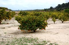 Orange tree fields in the middel of February. Orange tree fields with lots of oranges, in the middel of February Stock Images