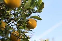 Orange tree in Florida. Orange trees in Florida season Royalty Free Stock Photo