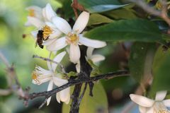 Orange tree flower. And a bee Stock Photography