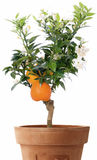 Orange Tree with flowers. Isolated oranges on tree with leafs and flowers stock photo