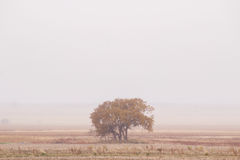 Tree in fog. A single autumn tree surrounded by a harvested farmland and fog Stock Image