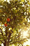 Orange on the tree ; France. Nice France. Cote d'azur, oranges on the tree in summer days Stock Photography