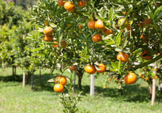 Orange tree Stock Image