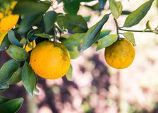 Orange tree. Fresh fruit in the farm Royalty Free Stock Images