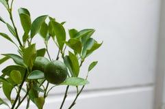 Orange tree Stock Images