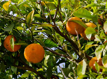 Orange tree. Fresh, oranges hanging on an orange tree Royalty Free Stock Photos
