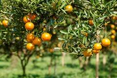 Orange tree. Fresh orange on plant, orange tree Royalty Free Stock Photos